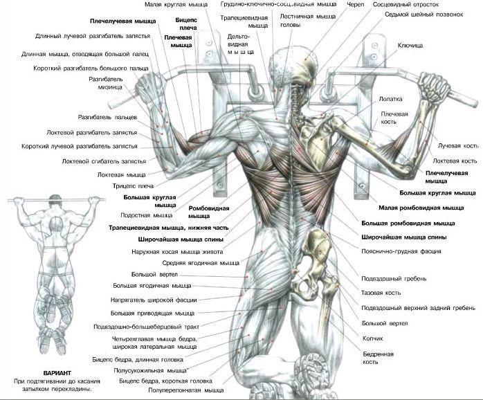 Мышцы задействованные при