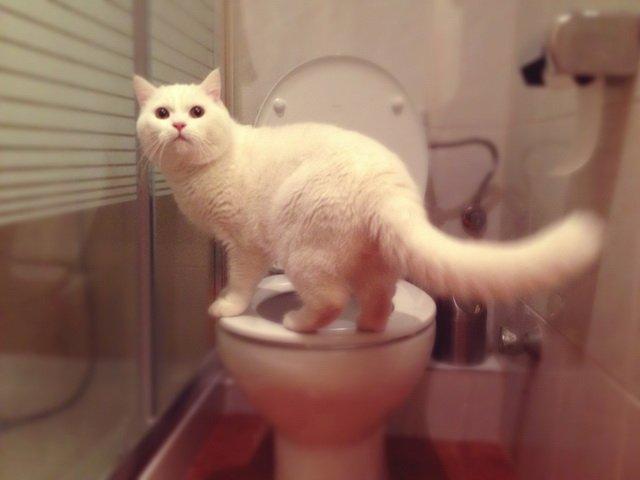 Как можно научить кота ходит на унитаз?