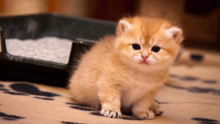 Как приучить котенка ходить в лоток?